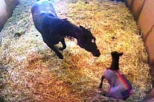 Foal_rejection